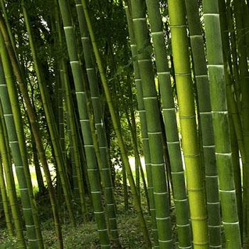 bamboe350